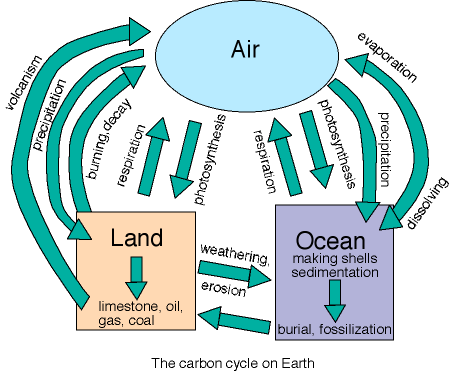 Life s role in the carbon cycle plants extract atmospheric carbon